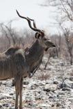 Greater Kudu. (Tragelaphus strepsiceros) in the Etosha National Park, Namibia stock photo