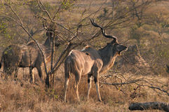 Greater Kudu. (Tragelaphus strepsiceros)  smells danger in the Londolozi game preserve, South Africa Royalty Free Stock Photo