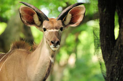 Greater Kudu Antelope Stock Image