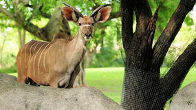 Greater Kudu Antelope (short horns) Stock Photos