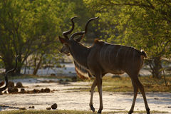Greater Kudu antelope in the wild Royalty Free Stock Photography