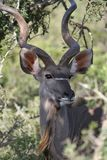 Greater Kudu Bull Stock Photo