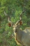 Greater kudu bull Stock Images