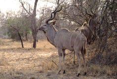 Greater Kudu bull Stock Photo