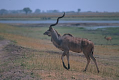Greater kudu bull. On Chobe River floodplain,Botswana Royalty Free Stock Photos