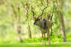 Greater Kudu bull Royalty Free Stock Photography