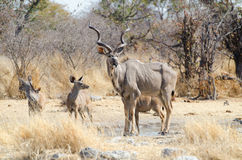 Greater kudu bull with calves Stock Photos