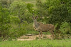 Greater Kudu Bull Stock Images