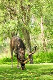 Greater Kudu bull eating Royalty Free Stock Images