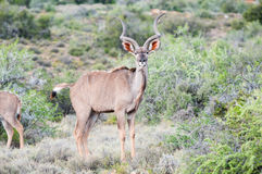 Greater kudu bull Royalty Free Stock Photo
