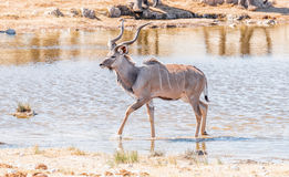 Greater kudu bull, Tragelaphus strepsiceros, walking in a waterh Stock Images