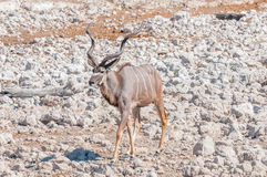 Greater kudu bull, Tragelaphus strepsiceros, walking between whi Stock Images
