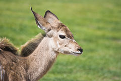 Greater Kudu calf Royalty Free Stock Image