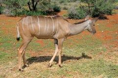 Greater Kudu cow Stock Image