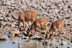Greater Kudu cow, Impala ram and Impala ewe Royalty Free Stock Photo