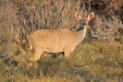 Greater Kudu cow Royalty Free Stock Image