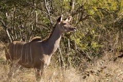 Greater Kudu cow - Tragelaphus strepsiceros Stock Image