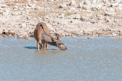 Greater kudu cow, Tragelaphus strepsiceros, drinking water Royalty Free Stock Images