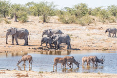 Greater kudu cows and bulls drinking with elephants in back. Greater kudu cows and bulls, Tragelaphus strepsiceros, drinking water in a waterhole in Northern Royalty Free Stock Photo