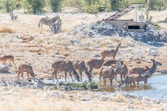 Greater kudu cows and calves drinking water. Greater kudu cows and calves, Tragelaphus strepsiceros, drinking water in a waterhole in Northern Namibia Stock Photography