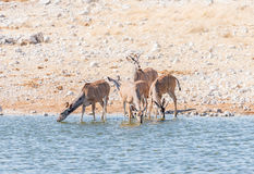 Greater kudu cows and young bulls drinking water. Greater kudu cows and young bulls, Tragelaphus strepsiceros, drinking water in a waterhole in Northern Namibia Stock Photo