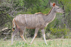 Greater Kudu cowv Royalty Free Stock Photography