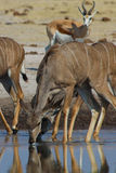 Greater kudu drinking Royalty Free Stock Photos