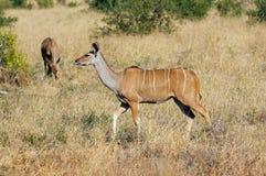 Greater Kudu female Royalty Free Stock Image