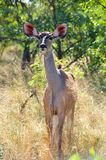 Greater Kudu female (Tragelaphus strepsiceros) Royalty Free Stock Photography