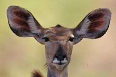 Greater Kudu female (Tragelaphus strepsiceros) Stock Photos