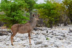 Greater kudu female Royalty Free Stock Images
