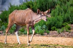 Greater kudu. Female greater kudu (Tragelaphus strepsiceros) in Paris zoo Royalty Free Stock Image