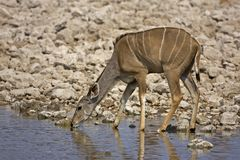 Greater Kudu female at waterhole Royalty Free Stock Photo