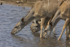 Greater Kudu female at waterhole Stock Images