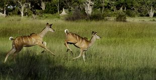 Greater kudu females running, Okavango Royalty Free Stock Photo