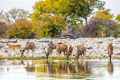 Greater Kudu herd drinking at Goas waterhole in Etosha national park Royalty Free Stock Photography