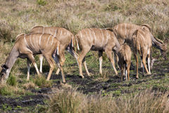 Greater Kudu Herd Royalty Free Stock Image