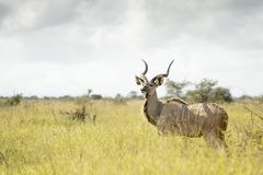 Greater Kudu in high grasses Stock Photography