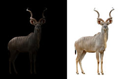 Free Greater Kudu In The Dark And White Background Royalty Free Stock Photo - 76082285