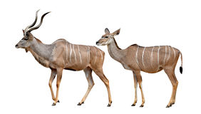 Greater kudu. Isolated on a white background Royalty Free Stock Photography