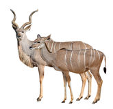 Greater kudu. Isolated on a white background Royalty Free Stock Photos