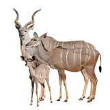 Greater kudu Stock Photography