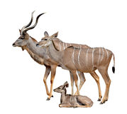 Greater kudu Royalty Free Stock Images
