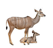 Greater kudu. Isolated on a white background Stock Images