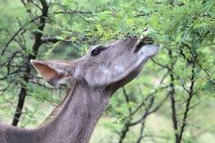 Greater Kudu or Koedoe Eating Thorn Tree Leaves royalty free stock images