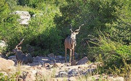 Greter Kudu in Kruger National Park Stock Image