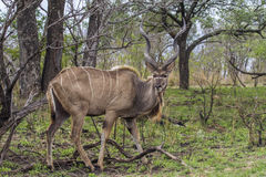 Greater kudu in Kruger National park, South Africa Stock Images