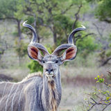 Greater kudu in Kruger National park, South Africa Royalty Free Stock Image