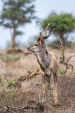 Greater kudu in Kruger National park, South Africa Royalty Free Stock Images