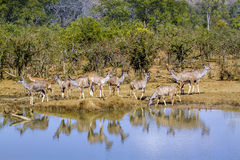 Greater kudu in Kruger National park, South Africa. Specie Tragelaphus strepsiceros family of Bovidae Royalty Free Stock Photos